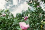 two pink roses, one in the front that is blurry, one in the foreground that is in focus, pop their heads out of thick green leaves and shoots that sprout into a milky sky and foreground of trees.