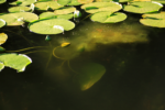 image of dark glossy water with bright yellowy-green lily-pads floating on the top. some of them are partially submerged and you can see their murky shapes and light in the dark ash color of the water.