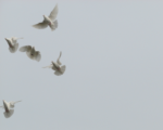 five doves in flight against a pale eggshell sky.
