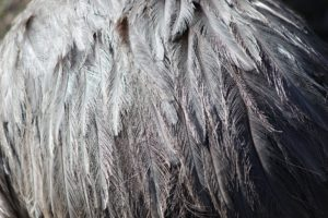 close up image of beautiful silvery feathers from a large bird