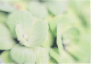 close up of pale slightly blurry green leaves, they look soft and feathery