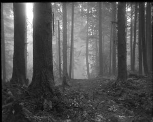 full frame black and white photo of an old forest. and a pathway or small clearing through the trees. the trees are sturdy and tall and stand in straight lines, the merest hints of branches only visible at the top of the frame. the entire image is diffused with light that weaves through the trees and settles on the land like perfume.