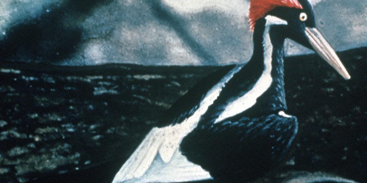 Ivory-billed_Woodpecker_bird
