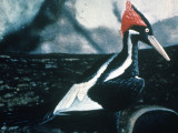 Ivory-billed_Woodpecker_bird