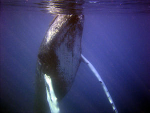 whale by NOAA Photo Library on flickr