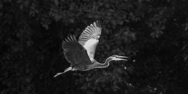 black and white image of a heron in midflight, wings floating above them