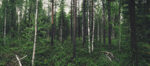 shot of a green forest with tall pine trees.
