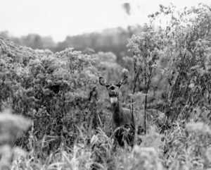 a deer in tall grass, looking at the camera