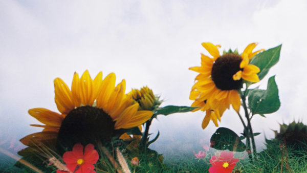 sunflowers by Nick Page on flickr