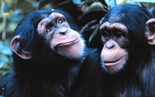 chimps by Day Donaldson on flickr