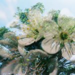 double exposure of the top of a verdant green tree branching onto a pale blue sky, overlaid with a photo of five-petaled white flowers in a cluster on top.