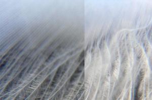swan-feather-16309-cc0-pixabay
