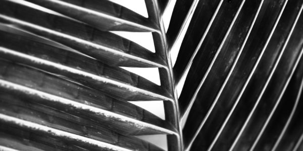 a palm leaf in black and white, a close up of the main stem with the fronds coming off of it, nearly centered image.