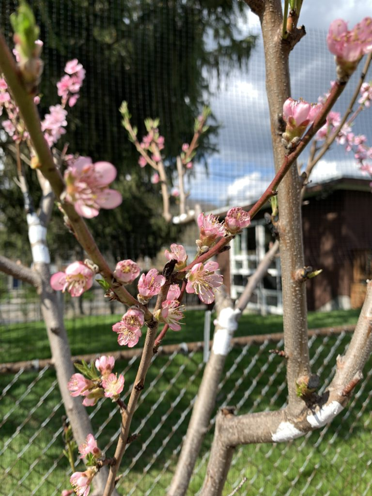 "Week 6: <em>Outside</em>, ""Heath Cling Peach- oldest American Peach Variety,"" Sam van Aken, May 15, 2020"